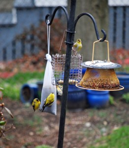Cute finches happy that I put some food out for them.