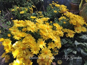 'Bernadette' Chrysanthemum in bloom in my garden.